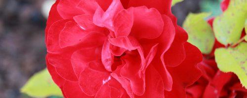 rose_vigne_bordeaux_3